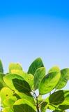 Grünblätter auf blauem Himmel Stockfotografie