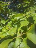Grünblätter auf dem Baum Stockbild