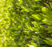Grünblätter auf dem Busch Lizenzfreies Stockbild