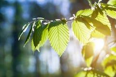 Grünblätter auf den grünen Hintergründen Stockbilder