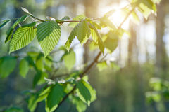 Grünblätter auf den grünen Hintergründen Stockbild