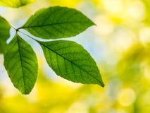 Grünblätter auf einem unscharfen Hintergrund. Stockfotos