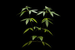 Grünblätter auf einem weißen Hintergrund frau Lizenzfreie Stockfotografie