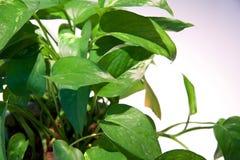 Grünblätter auf Maispflanzen stockfotografie