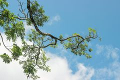 Grünblätter auf Niederlassung im blauen Himmel Lizenzfreie Stockbilder