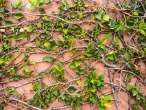 Grünblätter auf rosa Zementwandhintergrund Stockbilder