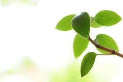 Grünblätter auf Weiß Stockfoto