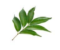 Grünblätter auf weißem Hintergrund Lizenzfreie Stockbilder
