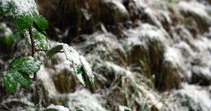 Grünblätter bedeckt mit Schnee stock video footage