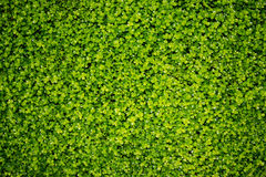 Grünblätter - Beschaffenheit Lizenzfreie Stockbilder
