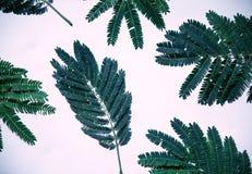 Grünblätter der Akazie Stockfotos