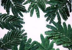 Grünblätter der Akazie Stockfotografie