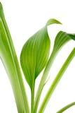 Grünblätter der Anlage werden auf einem weißen Hintergrund lokalisiert Stockfoto