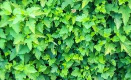 Grünblätter der Hecke stockfoto