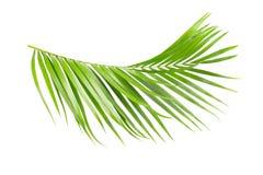 Grünblätter der Palme stock abbildung