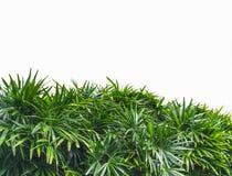 Grünblätter der Palme Stockfotos