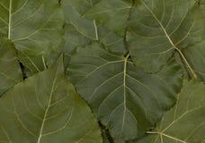 Grünblätter der Pappel Lizenzfreie Stockfotografie