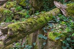Grünblätter der Schmerle flechten moosbedeckte Steine und Klotz Stockfotos