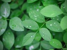 Grünblätter der Schmetterlingserbsenanlage mit Regen fällt Stockbild