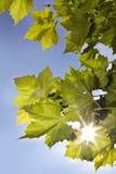 Grünblätter in der Sonne Stockbild