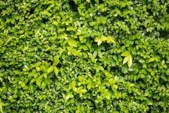 Grünblätter an der Wand Stockfotos