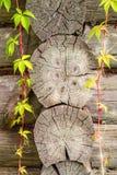 Grünblätter der Winde auf dem Holzrahmen des Beschaffenheitshintergrundes Stockfotos