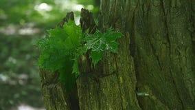 Grünblätter des Ahornbaums naß nach dem Regen Nahaufnahme stock video footage