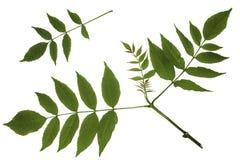 Grünblätter des Ahorns, Asche-leaved Ahorn, Acer-negundo, Abfallahorn, Triebspitze Lizenzfreies Stockbild