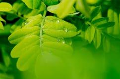 Grünblätter des Akazienhintergrundes Lizenzfreie Stockfotografie