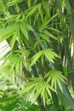 Grünblätter des Bambusses Stockbilder