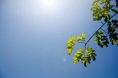 Grünblätter des Baumasts auf Hintergrund des blauen Himmels mit Sonnenlicht Lizenzfreies Stockfoto