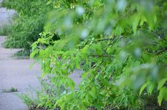 Grünblätter des Baums in der Sommerzeit Lizenzfreies Stockbild