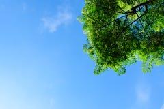 Grünblätter des Baums gegen den blauen Himmel Stockfotos
