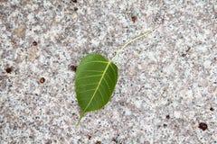 Grünblätter des bodhi Baums Lizenzfreie Stockfotografie