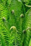 Grünblätter des Farns Stockbild