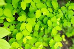 Grünblätter des Frühlingsbaums Stockfotografie