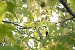 Grünblätter des japanischen Ahorns lizenzfreie stockfotografie