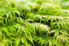 Grünblätter des japanischer Ahorn Acer-palmatum Stockfotografie