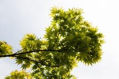 Grünblätter des japanischer Ahorn Acer-palmatum Lizenzfreie Stockfotos