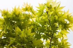 Grünblätter des japanischer Ahorn Acer-palmatum Lizenzfreies Stockbild