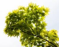 Grünblätter des japanischer Ahorn Acer-palmatum Lizenzfreie Stockbilder