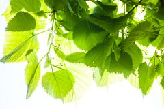 Grünblätter des Limettenbaums im Sonnenschein Lizenzfreie Stockbilder
