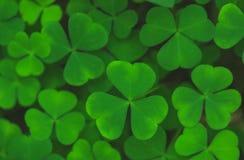 Grünblätter des Shamrockhintergrundes Stockbild