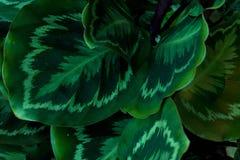 Grünblätter des stummen Stocks Stockbilder