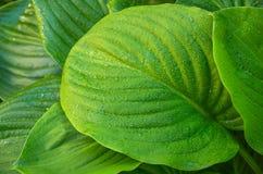 Grünblätter einer Blume im Dschungel Stockbilder