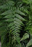 Grünblätter einer Farnanlage Stockfotos