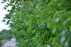 Grünblätter eines Baums in der Sommerzeit Stockfoto