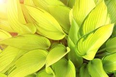 Grünblätter eines Hosta Lizenzfreies Stockfoto