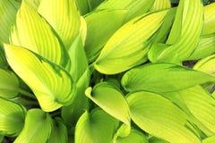Grünblätter eines Hosta Lizenzfreie Stockfotos