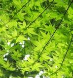 Grünblätter eines japanischen Ahornholzes Stockfotos